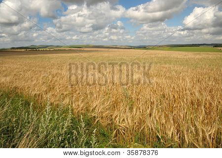 English cornfields
