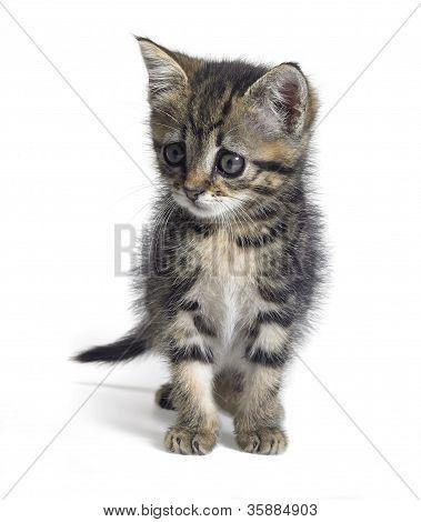 Watching Kitten