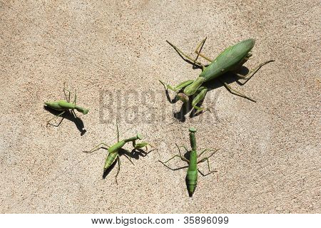 Mantises on a wall