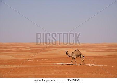 Curious Camel Walking through the Dunes