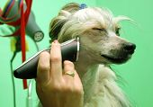 stock photo of barber razor  - Chinese crested dog Powder Puff during visit in dog beauty parlour - JPG