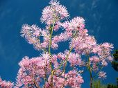 stock photo of pubescent  - Pink Meadow - JPG