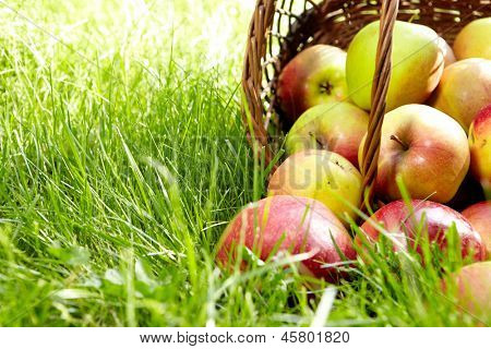 Healthy Organic Apples in the Basket.