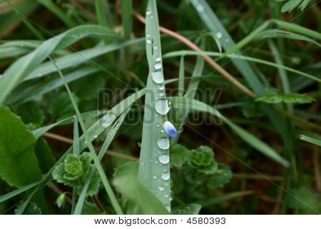 Grass And Water Drop