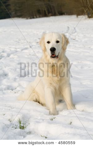 Golden Retriever In Winter