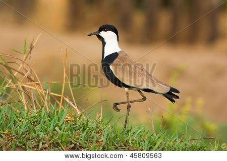 Spur Winged Plover Standing On One Leg