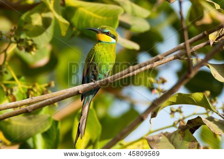 Swallow-tailed Bee-eater In Cashew Tree