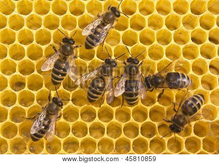 Bees Build Honeycombs