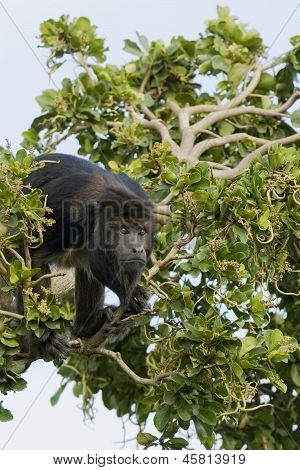 Little Black Monkey On A Branch