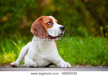 beautiful beagle dog outdoors