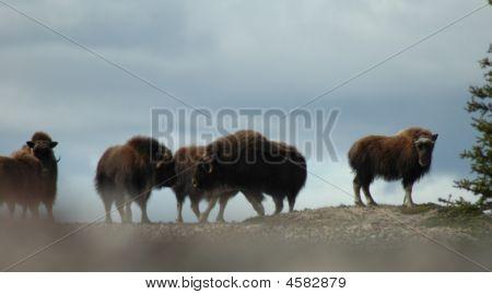 Arctic Muskox