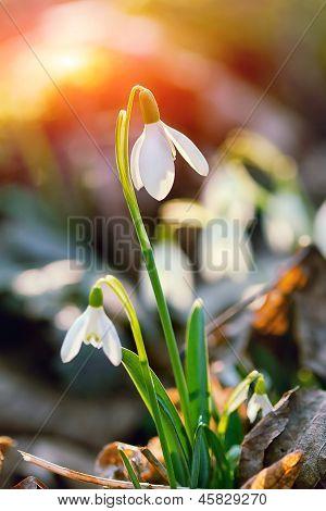 Snowdrop Flower In Morning Dew, Soft Focus