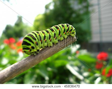 insect Of The Butterfly  Machaon On The Stick