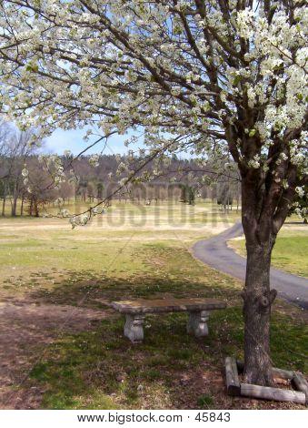 Flowering Pear Tree In Spring