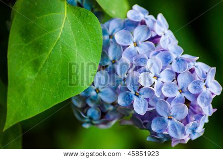 Blue Lilac In Green Leaves