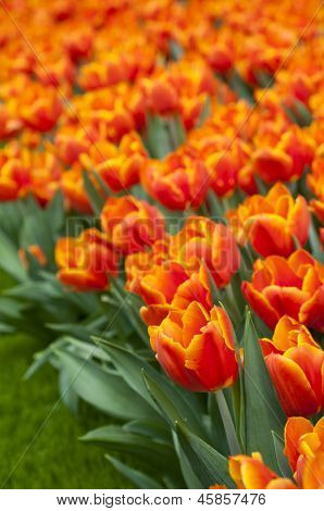 Field of beautiful orange tulips