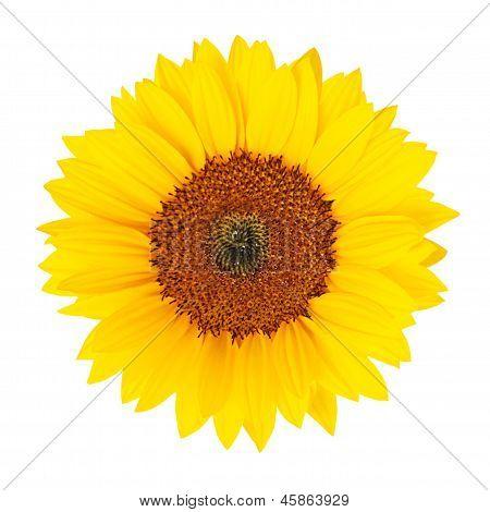 Sunflower (helianthus Annuus) Isolated