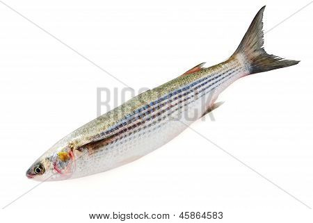 Fresh Grey Mullet Isolated On White