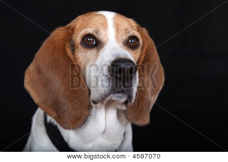 Sitting Dog (beagle)