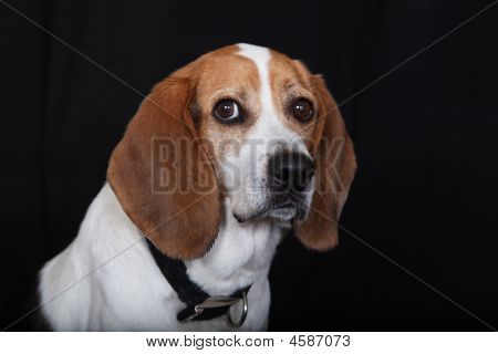 Sitting Dog Beagle
