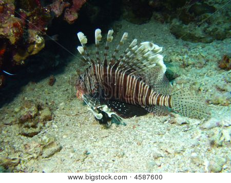 Lion Fish On The Bottom