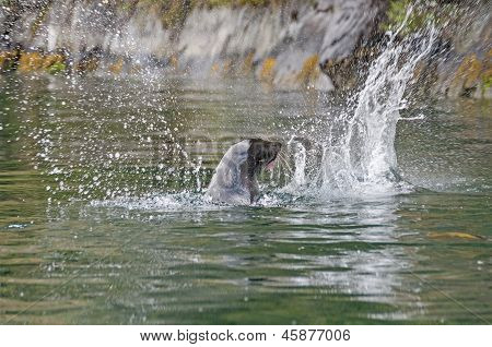 Seal Thrashing A Fish In The Ocean