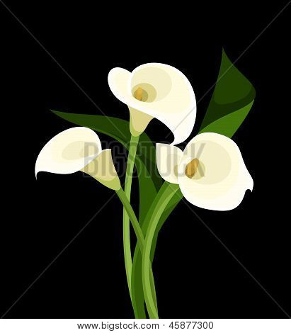 White calla lilies on black. Vector illustration.