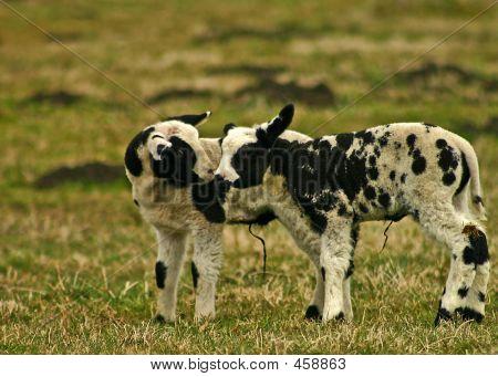 Lamb Kiss