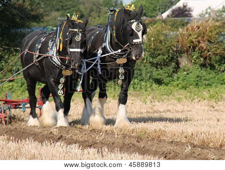 Shire Horses.