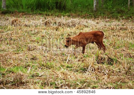 The little calf in the cornfield