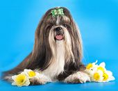 pic of dog breed shih-tzu  - shih - JPG