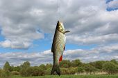 image of chub  - the image of beautiful caught fish chub - JPG