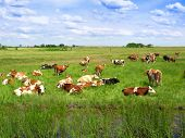 stock photo of moo-cow  - Cow lying down in the green meadow - JPG