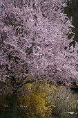 Постер, плакат: Сакуры весной дерево с цветками