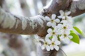 stock photo of dogwood  - Spotted branch of a dogwood tree in spring with white flowers and green leaves - JPG