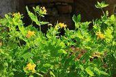 stock photo of celandine  - Blooming greater celandine  - JPG