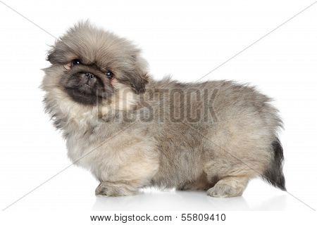 Pekingese Puppy Standing