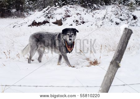 Large Wolfhound Labrador Mix Dog Standing Over Animal Under Snow