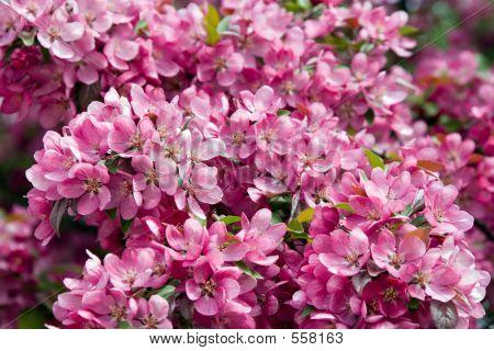 Pink Across The Board