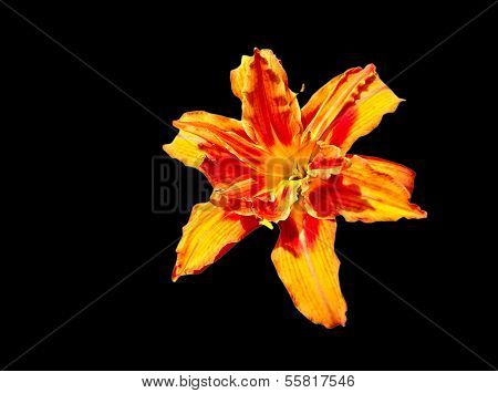 lily isolated over black