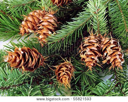 spruce and cones