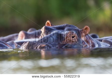 Wildlife Hippopotamus Waters