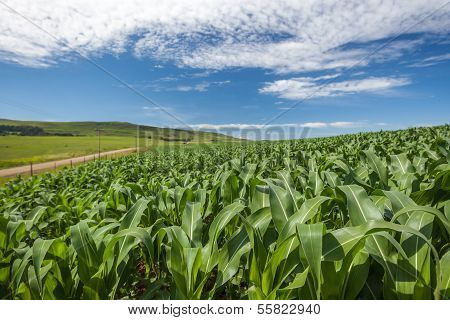 Maize Corn Crop Farming
