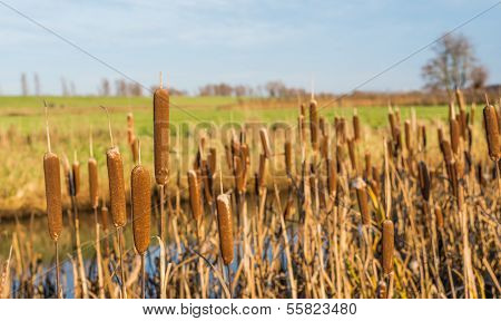 Closeup Of Flowering Common Bulrush Next To A Ditch