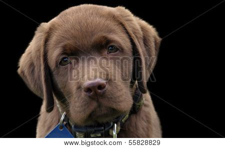 Cute chocolate labrador puppy