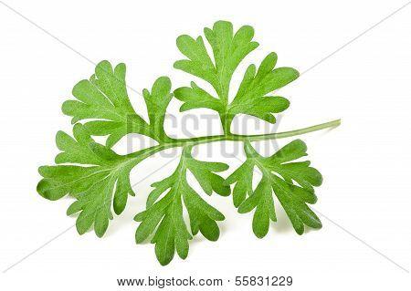 Sagebrush Arborescens