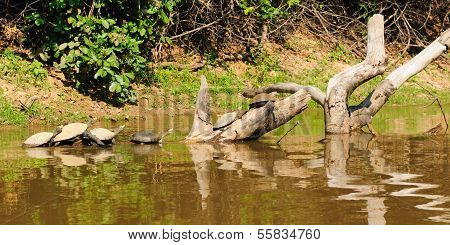 Wild Turtles In The Amazon Area In Bolivia