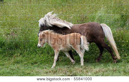 Shetland Mare Colt