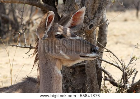Kudu Cow Listening With Both Ears Turned Forward