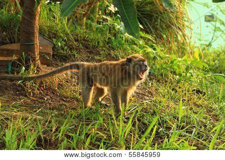 Long tail monkey